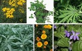 edible and medicinal plants & herbal medicine
